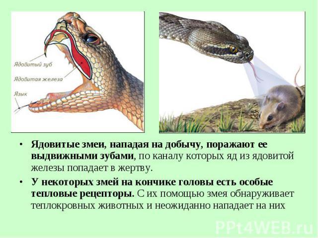 Ядовитые змеи, нападая на добычу, поражают ее выдвижными зубами, по каналу которых яд из ядовитой железы попадает в жертву. Ядовитые змеи, нападая на добычу, поражают ее выдвижными зубами, по каналу которых яд из ядовитой железы попадает в жертву. У…