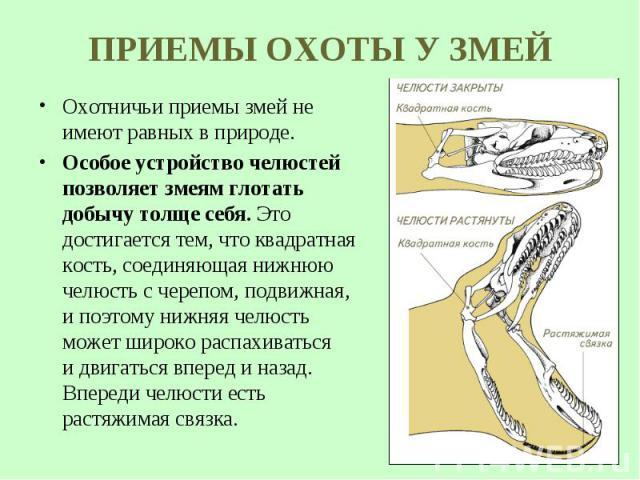 Охотничьи приемы змей не имеют равных в природе. Охотничьи приемы змей не имеют равных в природе. Особое устройство челюстей позволяет змеям глотать добычу толще себя. Это достигается тем, что квадратная кость, соединяющая нижнюю челюсть счере…