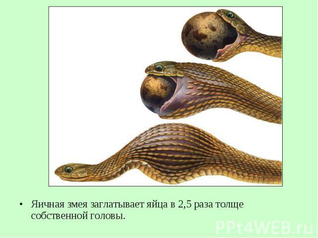 Яичная змея заглатывает яйца в 2,5 раза толще собственной головы. Яичная змея заглатывает яйца в 2,5 раза толще собственной головы.