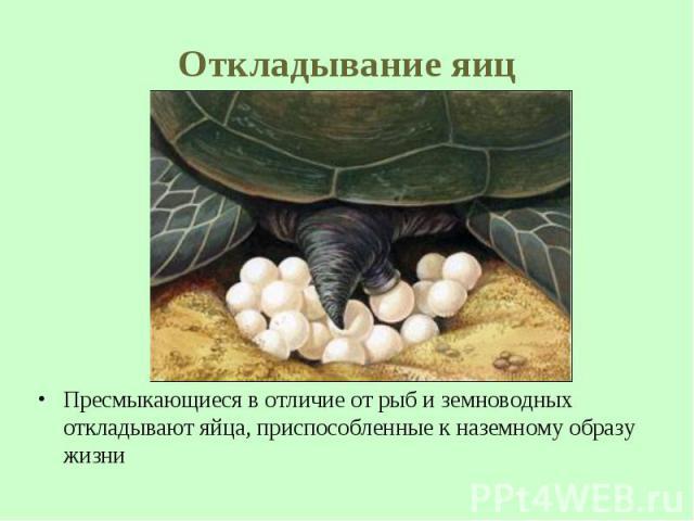 Пресмыкающиеся в отличие от рыб и земноводных откладывают яйца, приспособленные кназемному образу жизни Пресмыкающиеся в отличие от рыб и земноводных откладывают яйца, приспособленные кназемному образу жизни