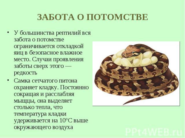 У большинства рептилий вся забота опотомстве ограничивается откладкой яиц вбезопасное влажное место. Случаи проявления заботы сверх этого— редкость У большинства рептилий вся забота опотомстве ограничивается откладкой яиц в&n…