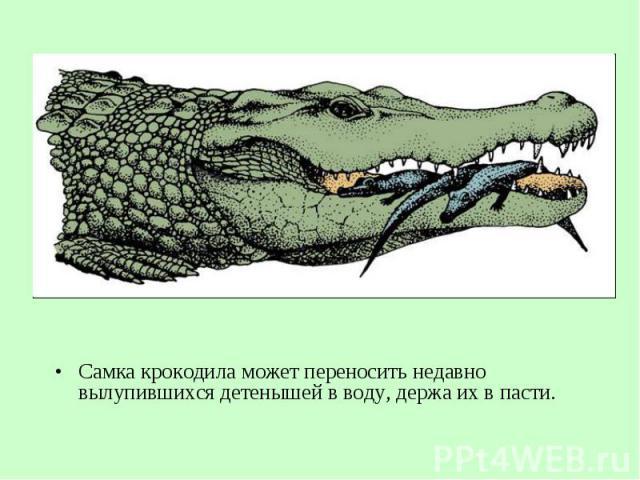 Самка крокодила может переносить недавно вылупившихся детенышей вводу, держа ихвпасти. Самка крокодила может переносить недавно вылупившихся детенышей вводу, держа ихвпасти.