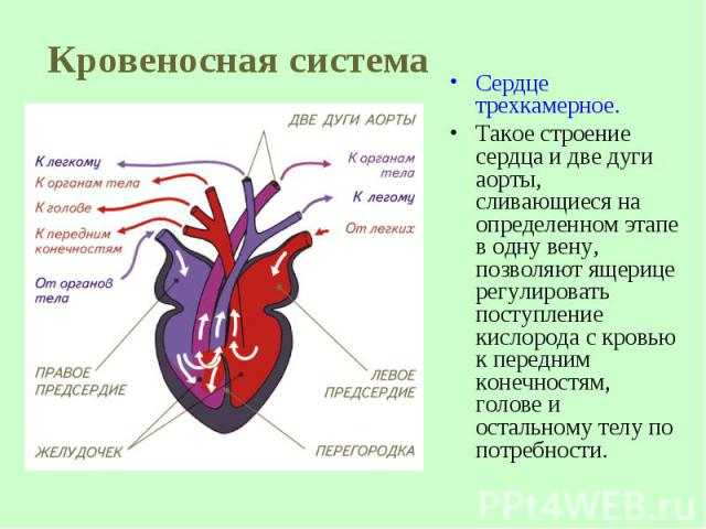 Сердце трехкамерное. Такое строение сердца и две дуги аорты, сливающиеся на определенном этапе в одну вену, позволяют ящерице регулировать поступление кислорода с кровью кпередним конечностям, голове и остальному телу по потребности.