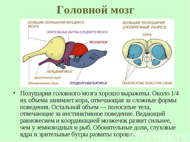 Полушария головного мозга хорошо выражены. Около 1/4 их объема занимает кора, отвечающая за сложные формы поведения. Остальной объем— полосатые тела, отвечающие за инстинктивное поведение. Ведающий равновесием и координацией мозжечок развит си…