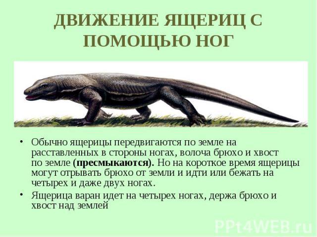 Обычно ящерицы передвигаются по земле на расставленных в стороны ногах, волоча брюхо и хвост поземле (пресмыкаются). Нона короткое время ящерицы могут отрывать брюхо от земли и идти или бежать на четырех идаже двух ногах. Обычно ящ…