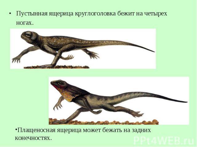 Пустынная ящерица круглоголовка бежит начетырех ногах. Пустынная ящерица круглоголовка бежит начетырех ногах.