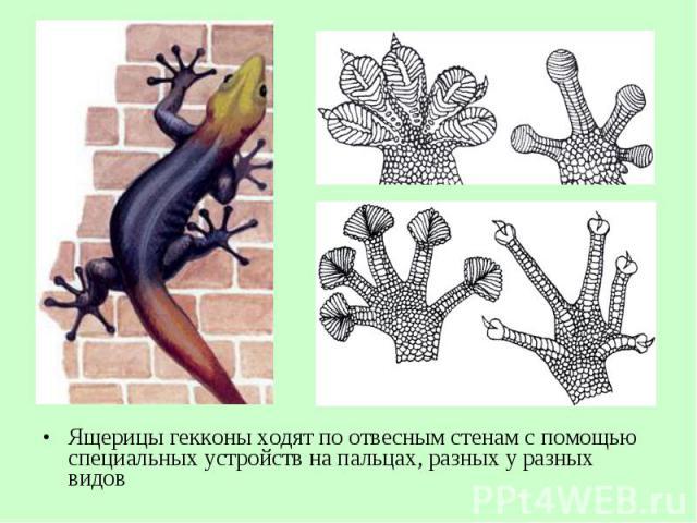 Ящерицы гекконы ходят поотвесным стенам спомощью специальных устройств на пальцах, разных у разных видов Ящерицы гекконы ходят поотвесным стенам спомощью специальных устройств на пальцах, разных у разных видов