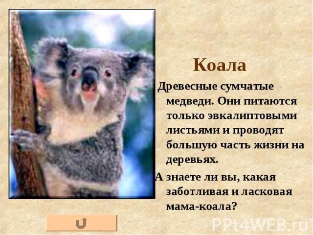 Коала Коала Древесные сумчатые медведи. Они питаются только эвкалиптовыми листьями и проводят большую часть жизни на деревьях. А знаете ли вы, какая заботливая и ласковая мама-коала?
