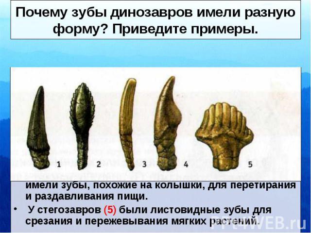 Почему зубы динозавров имели разную форму? Приведите примеры. Размер и форма зубов динозавров зависели от того, чем они питались. Хищные динозавры имели большие и острые передние зубы (1) для разрезания пищи. Платеозавры (2), диплодок (3) и апатозав…