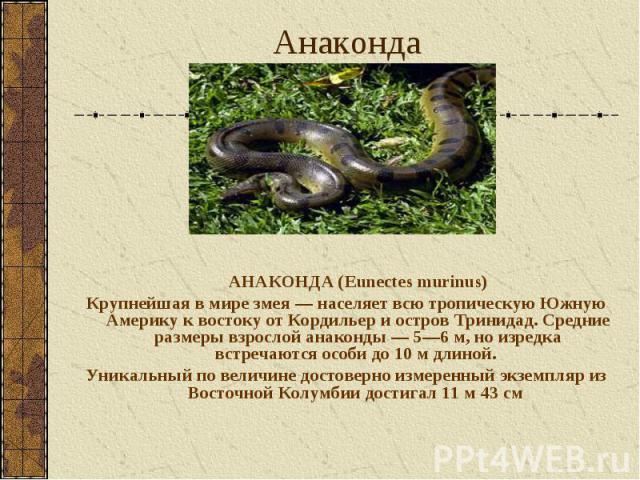 АНАКОНДА (Eunectes murinus) АНАКОНДА (Eunectes murinus) Крупнейшая в мире змея — населяет всю тропическую Южную Америку к востоку от Кордильер и остров Тринидад. Средние размеры взрослой анаконды — 5—6 м, но изредка встречаются особи до 10 м длиной.…