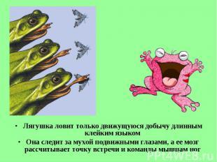 Лягушка ловит только движущуюся добычу длинным клейким языком Лягушка ловит толь