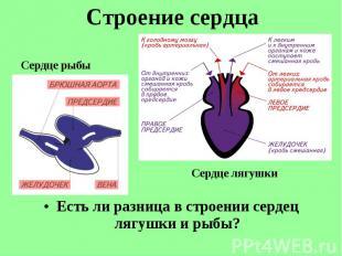 Есть ли разница в строении сердец лягушки и рыбы? Есть ли разница в строении сер