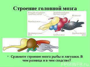 Сравните строение мозга рыбы и лягушки. В чем разница и в чем сходство? Сравните