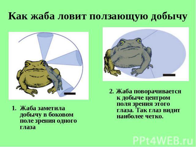 Жаба заметила добычу вбоковом поле зрения одного глаза Жаба заметила добычу вбоковом поле зрения одного глаза