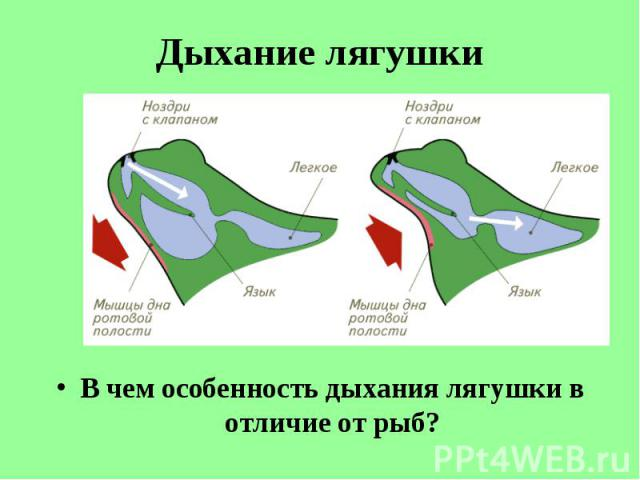 В чем особенность дыхания лягушки в отличие от рыб? В чем особенность дыхания лягушки в отличие от рыб?