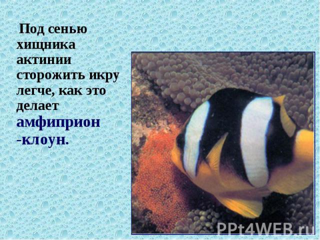 Под сенью хищника актинии сторожить икру легче, как это делает амфиприон -клоун. Под сенью хищника актинии сторожить икру легче, как это делает амфиприон -клоун.