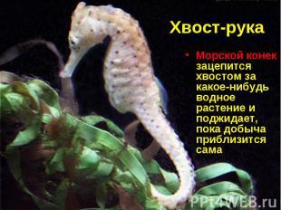 Морской конек зацепится хвостом за какое-нибудь водное растение и поджидает, пок