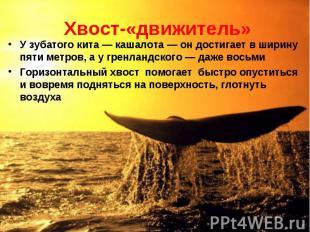 У зубатого кита — кашалота — он достигает в ширину пяти метров, а у гренландског