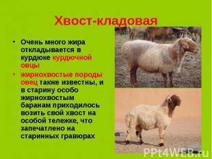 Очень много жира откладывается в курдюке курдючной овцы Очень много жира отклады