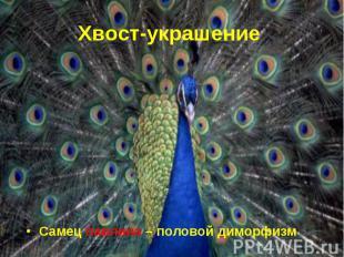 Самец павлина – половой диморфизм Самец павлина – половой диморфизм