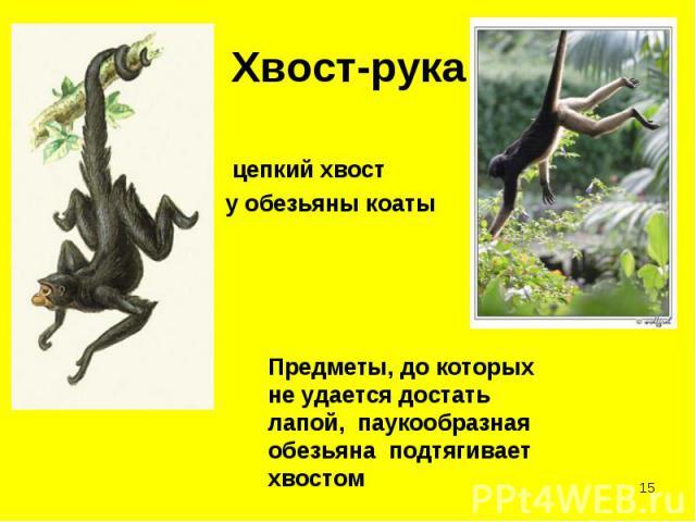 цепкий хвост цепкий хвост у обезьяны коаты