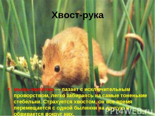 мышь-малютка — лазает с исключительным проворством, легко забираясь на самые тоненькие стебельки. Страхуется хвостом, он все время перемещается с одной былинки на другую и обвивается вокруг них. мышь-малютка — лазает с исключительным проворством, ле…
