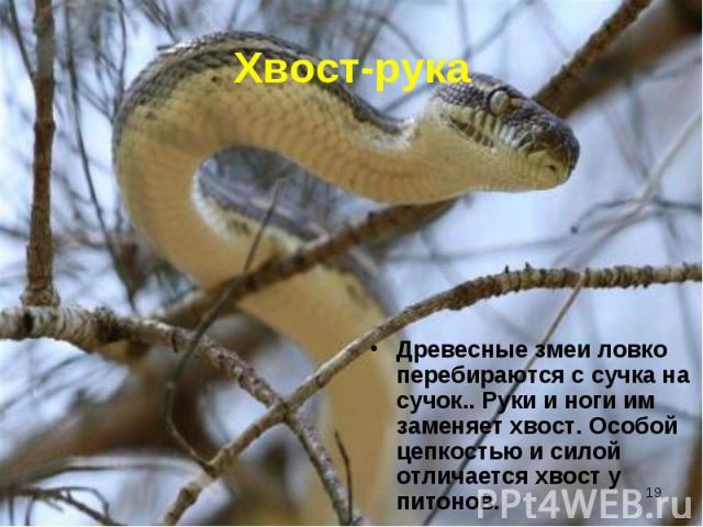 Древесные змеи ловко перебираются с сучка на сучок.. Руки и ноги им заменяет хвост. Особой цепкостью и силой отличается хвост у питонов. Древесные змеи ловко перебираются с сучка на сучок.. Руки и ноги им заменяет хвост. Особой цепкостью и силой отл…