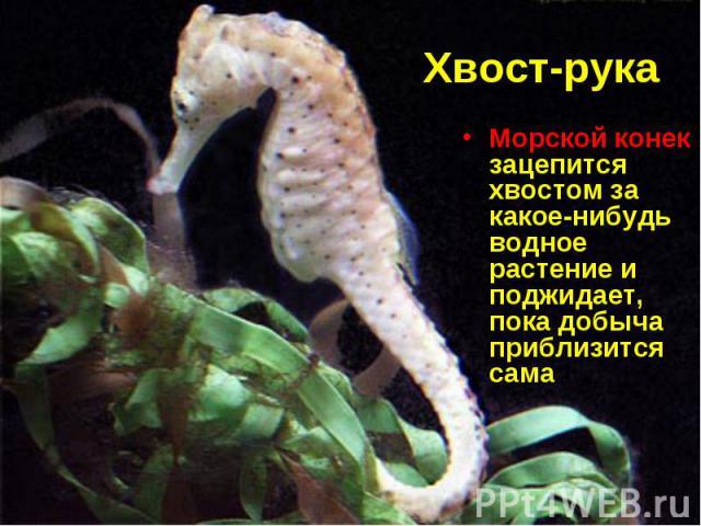 Морской конек зацепится хвостом за какое-нибудь водное растение и поджидает, пока добыча приблизится сама Морской конек зацепится хвостом за какое-нибудь водное растение и поджидает, пока добыча приблизится сама