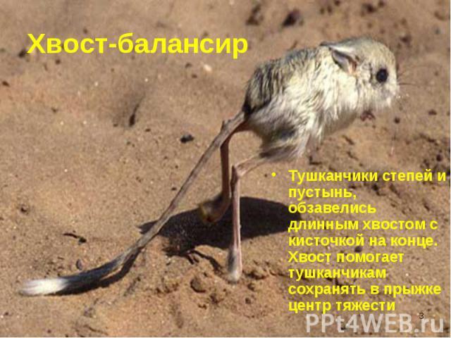 Тушканчики степей и пустынь, обзавелись длинным хвостом с кисточкой на конце. Хвост помогает тушканчикам сохранять в прыжке центр тяжести Тушканчики степей и пустынь, обзавелись длинным хвостом с кисточкой на конце. Хвост помогает тушканчикам сохран…
