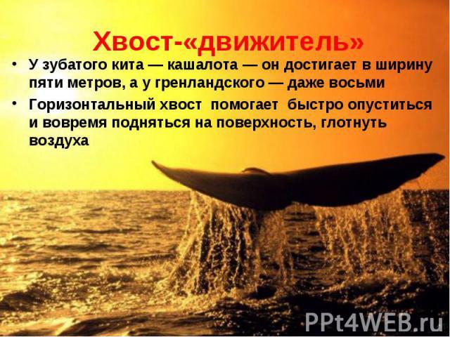 У зубатого кита — кашалота — он достигает в ширину пяти метров, а у гренландского — даже восьми У зубатого кита — кашалота — он достигает в ширину пяти метров, а у гренландского — даже восьми Горизонтальный хвост помогает быстро опуститься и вовремя…