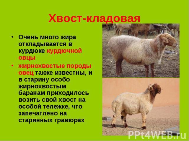 Очень много жира откладывается в курдюке курдючной овцы Очень много жира откладывается в курдюке курдючной овцы жирнохвостые породы овец также известны, и в старину особо жирнохвостым баранам приходилось возить свой хвост на особой тележке, что запе…