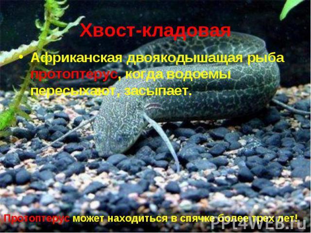 Африканская двоякодышащая рыба протоптерус, когда водоемы пересыхают, засыпает. Африканская двоякодышащая рыба протоптерус, когда водоемы пересыхают, засыпает.