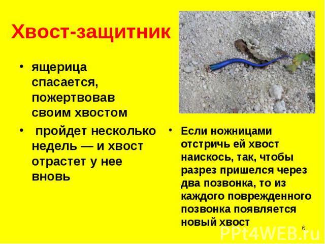 ящерица спасается, пожертвовав своим хвостом ящерица спасается, пожертвовав своим хвостом пройдет несколько недель — и хвост отрастет у нее вновь