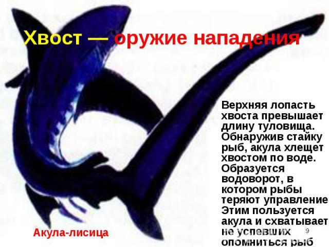 Верхняя лопасть хвоста превышает длину туловища. Обнаружив стайку рыб, акула хлещет хвостом по воде. Образуется водоворот, в котором рыбы теряют управление. Этим пользуется акула и схватывает не успевших опомниться рыб Верхняя лопасть хвоста превыша…