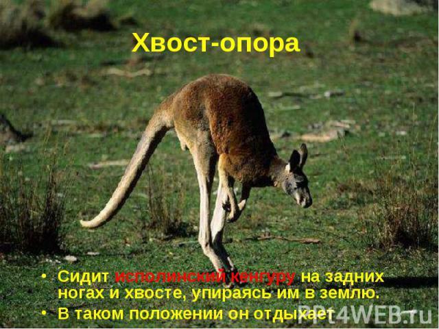 Сидит исполинский кенгуру на задних ногах и хвосте, упираясь им в землю. Сидит исполинский кенгуру на задних ногах и хвосте, упираясь им в землю. В таком положении он отдыхает