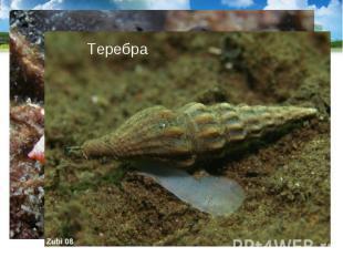 Тропические моллюски конус и теребра имеют ядовитые железы, их яд близок к яду к