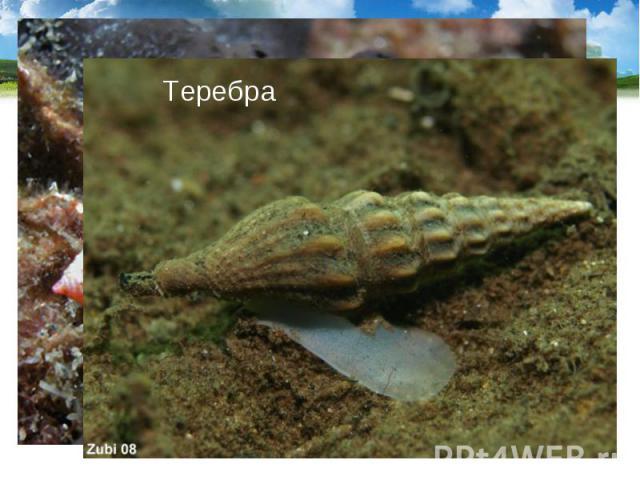 Тропические моллюски конус и теребра имеют ядовитые железы, их яд близок к яду кураре. Тропические моллюски конус и теребра имеют ядовитые железы, их яд близок к яду кураре.