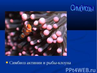 Симбиоз актинии и рыбы-клоуна Симбиоз актинии и рыбы-клоуна