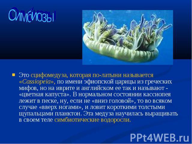 Это сцифомедуза, которая по-латыни называется «Cassiopeia», по имени эфиопской царицы из греческих мифов, но на иврите и английском ее так и называют - «цветная капуста». В нормальном состоянии кассиопея лежит в песке, ну, если не «вниз головой», то…