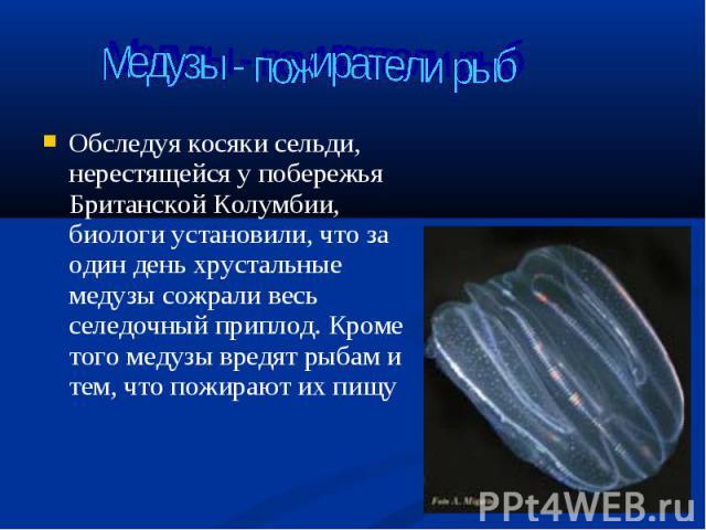 Обследуя косяки сельди, нерестящейся у побережья Британской Колумбии, биологи установили, что за один день хрустальные медузы сожрали весь селедочный приплод. Кроме того медузы вредят рыбам и тем, что пожирают их пищу Обследуя косяки сельди, нерестя…