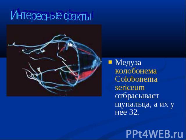 Медуза колобонема Colobonema sericeum отбрасывает щупальца, а их у нее 32. Медуза колобонема Colobonema sericeum отбрасывает щупальца, а их у нее 32.