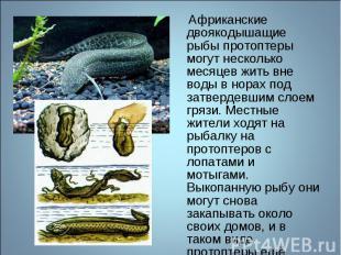 Африканские двоякодышащие рыбы протоптеры могут несколько месяцев жить вне воды