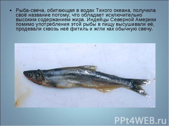 Рыба-свеча, обитающая в водах Тихого океана, получила своё название потому, что обладает исключительно высоким содержанием жира. Индейцы Северной Америки помимо употребления этой рыбы в пищу высушивали её, продевали сквозь неё фитиль и жгли как обыч…