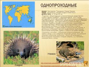 Ареал: Австралия, Тасмания, Новая Гвинея Пища: насекомые, мелкие водные животные
