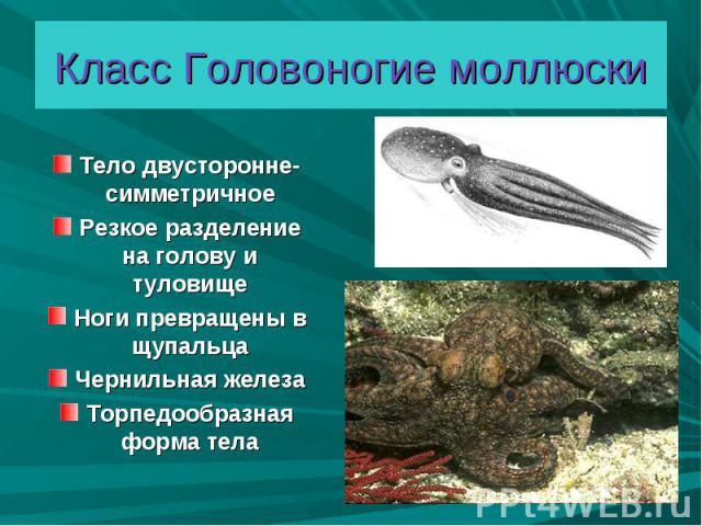 Тело двусторонне- симметричное Тело двусторонне- симметричное Резкое разделение на голову и туловище Ноги превращены в щупальца Чернильная железа Торпедообразная форма тела