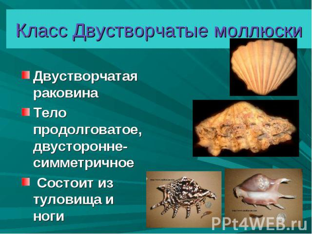 Двустворчатая раковина Двустворчатая раковина Тело продолговатое, двусторонне-симметричное Состоит из туловища и ноги