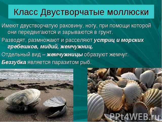 Имеют двустворчатую раковину, ногу, при помощи которой они передвигаются и зарываются в грунт. Имеют двустворчатую раковину, ногу, при помощи которой они передвигаются и зарываются в грунт. Разводят, размножают и расселяют устриц и морских гребешков…