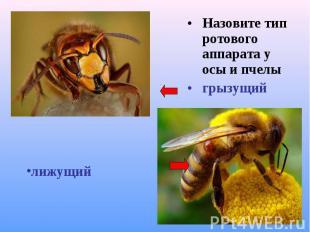 Назовите тип ротового аппарата у осы и пчелы Назовите тип ротового аппарата у ос