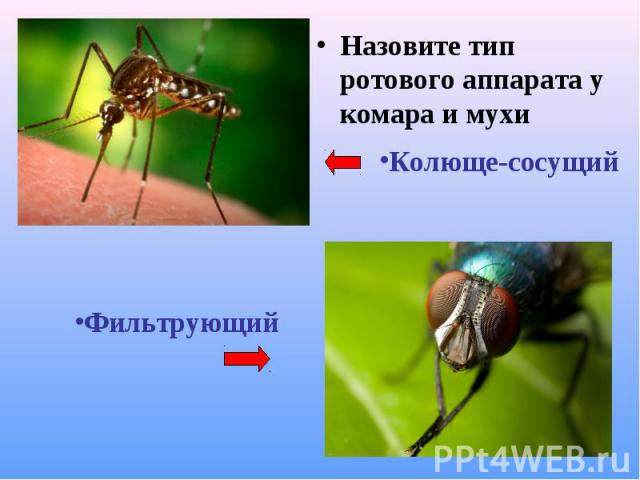 Назовите тип ротового аппарата у комара и мухи Назовите тип ротового аппарата у комара и мухи