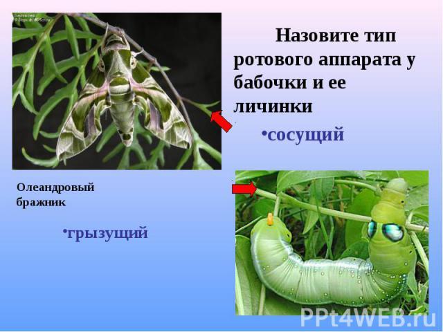Назовите тип ротового аппарата у бабочки и ее личинки Назовите тип ротового аппарата у бабочки и ее личинки сосущий